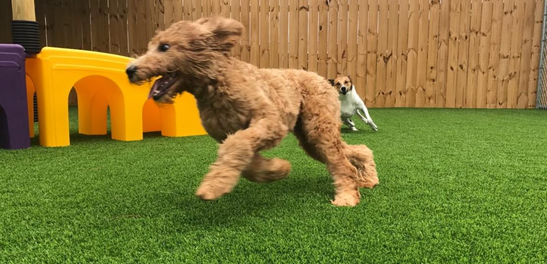 Dogs playing in daycare yard